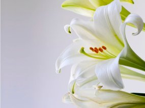 Three Easter Lillies